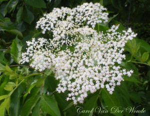 Elderberry flower 5