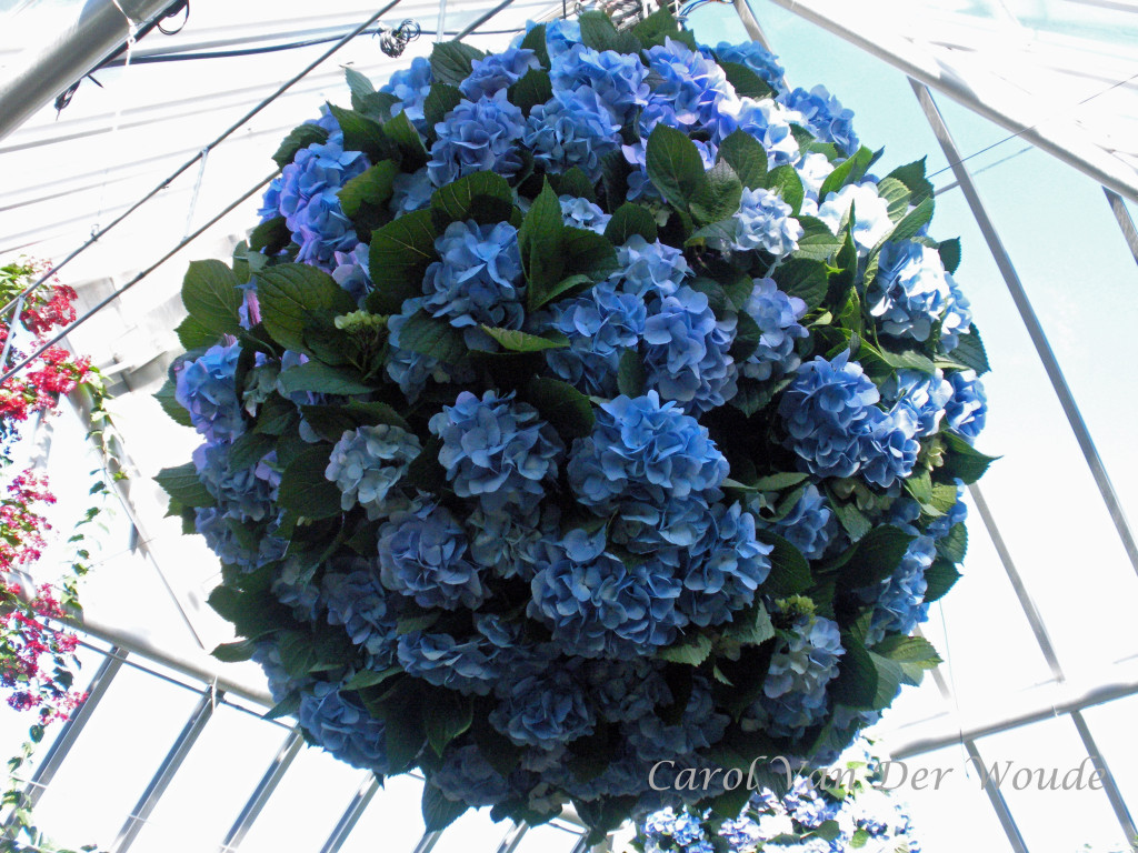 Blue Hydrangeas at Chicago Botanical Garden