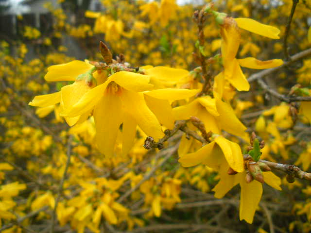 Forsythia Marks the Anniversary