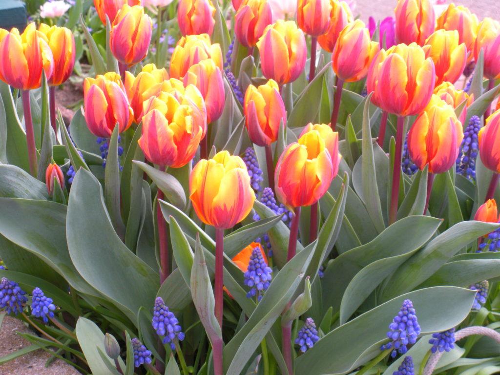 Tulips_1638