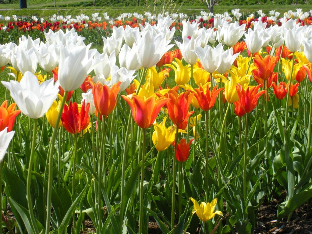 Tulips_1655