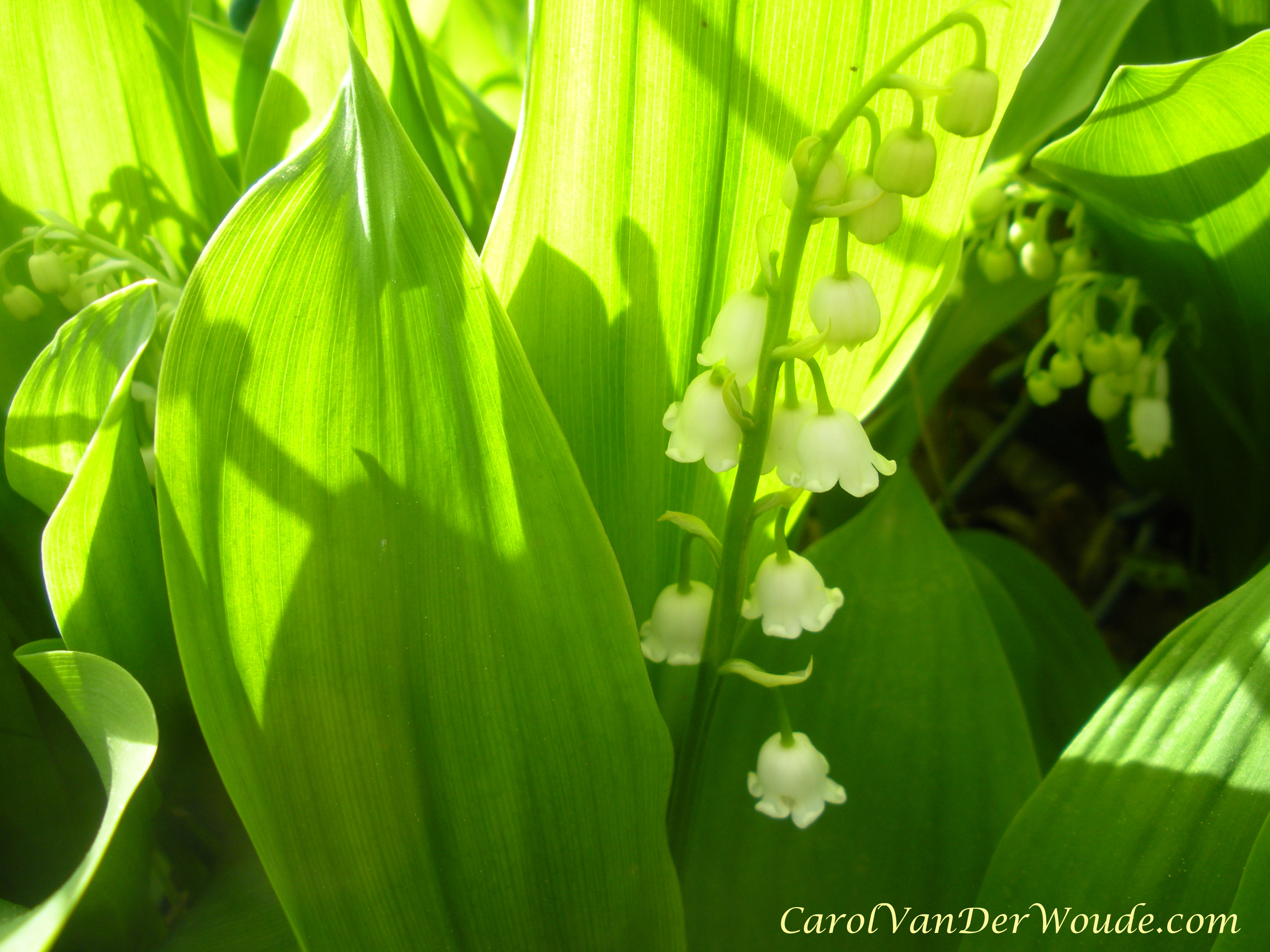 Lily of the valley and a song on my heart labor of love lily of the valley reviewsmspy
