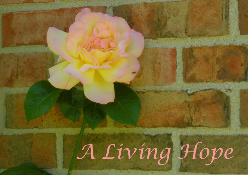 Yellow Rose-Hope