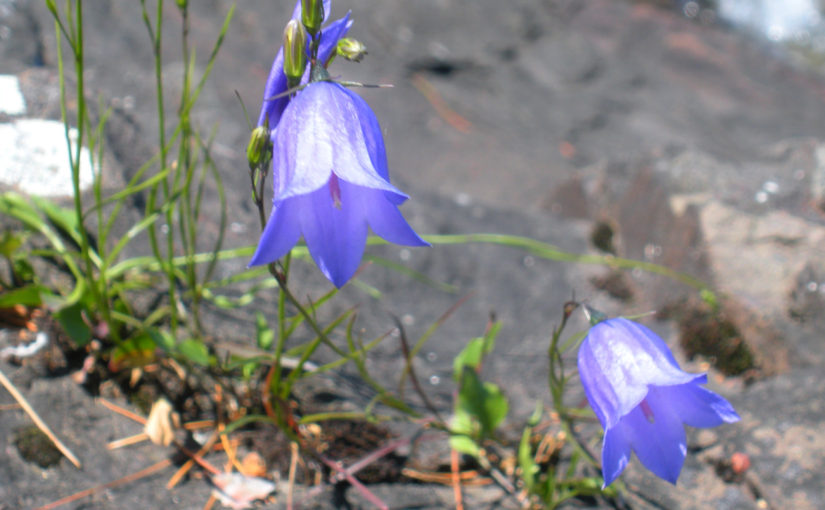 A Bluebell Bellflower & the Rocks and Waves of Lake Superior