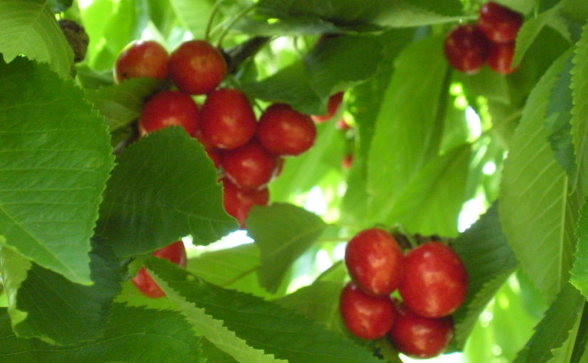 If you plant a cherry tree, you might want to know . . .