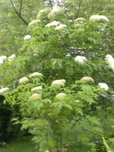 Elderberry Bush in bloom