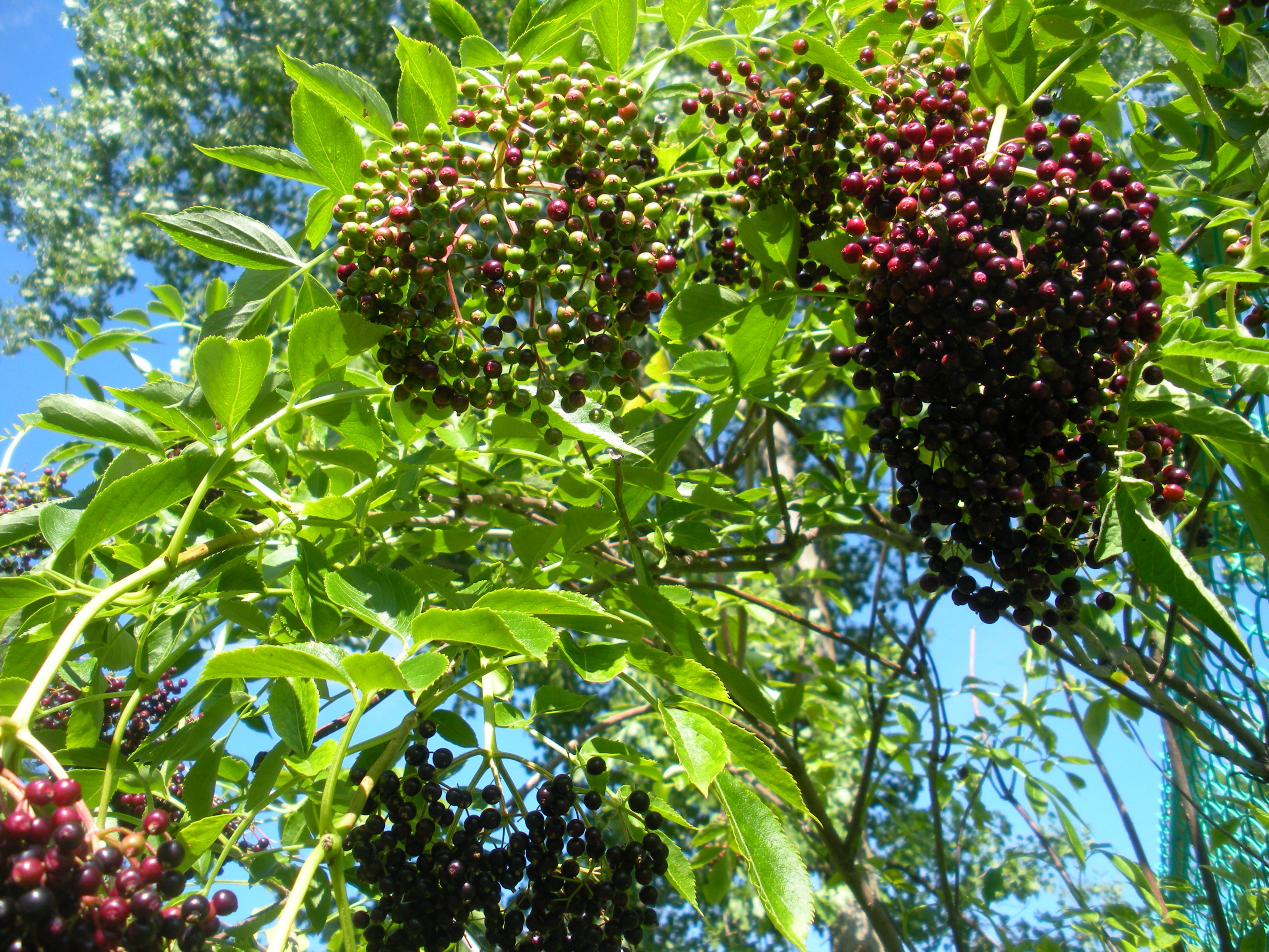 berries u2013 labor of love