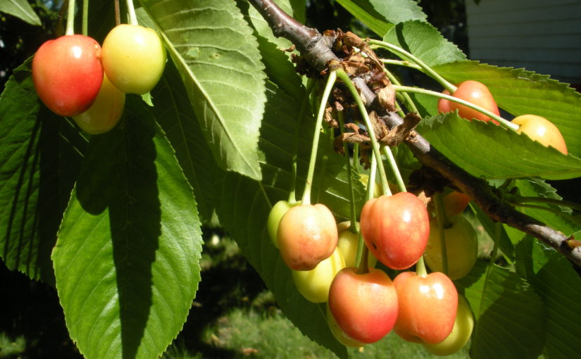 The Cherry Tree and Martin Luther: Life Lessons