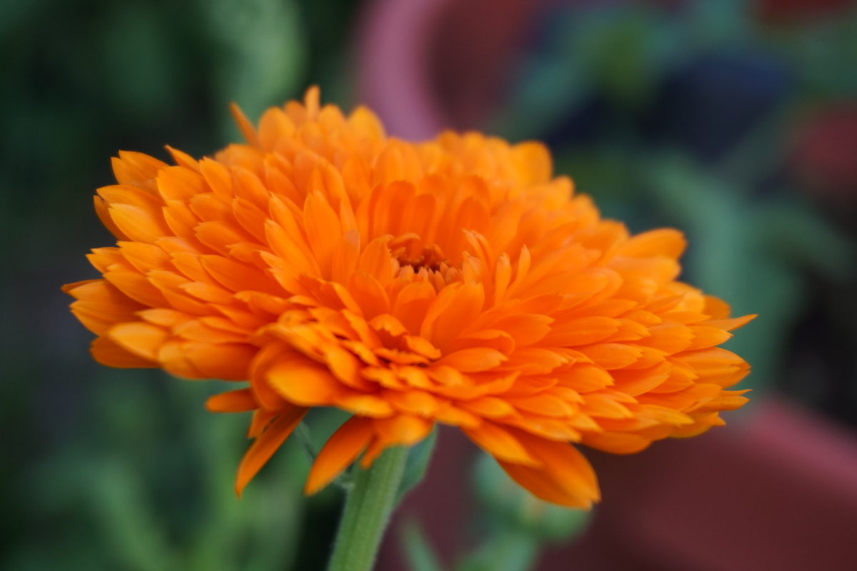 The Colors of Calendula